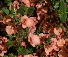 Diascia hybrid 'flying colors apricot'