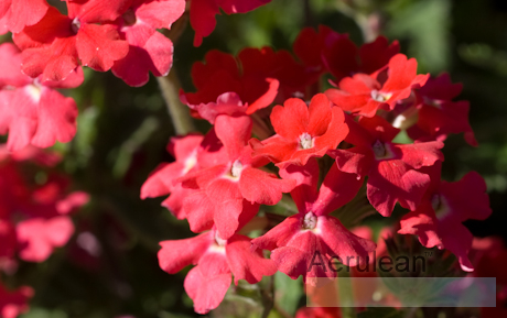 Verbena x hybrida taylortown red