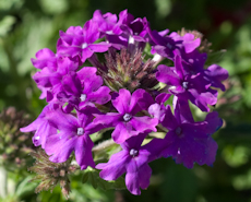 Verbena homestead purple
