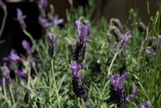 Lavandula winter lace'