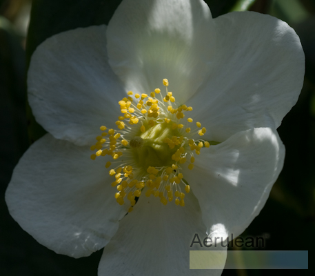 Carpenteria californica 5