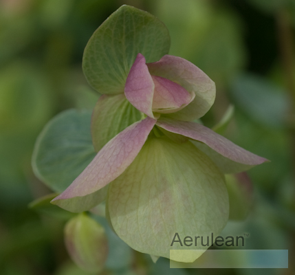 Origanum 'rose beauty' 3