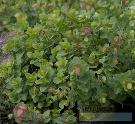 Origanum 'rose beauty'