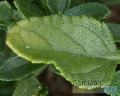 Salvia microphylla bezerkeley 2