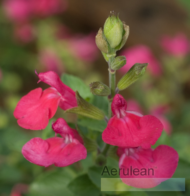 Salvia microphylla bezerkeley 3