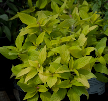 Salvia elegans golden delicious 2