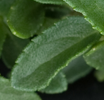 Salvia microphylla bezerkeley 2 3