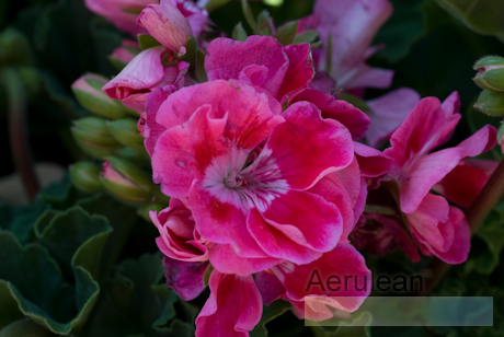 Geranium strawberry sizzle
