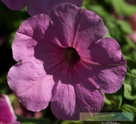 Petunia cotton candy