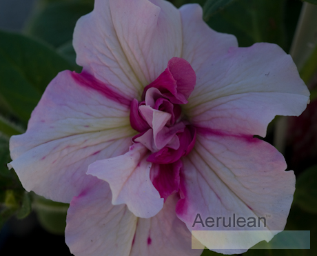 Petunia double peppermint 2