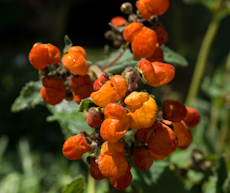Calceolaria integrifolia 'kentish hero' 2