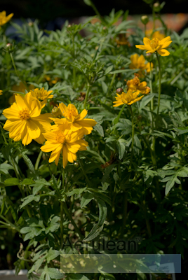 Cosmos cosmic yellow 2
