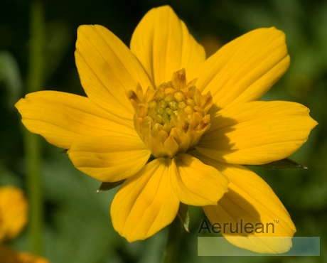 Cosmos cosmic yellow 3