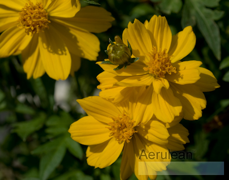 Cosmos cosmic yellow 4