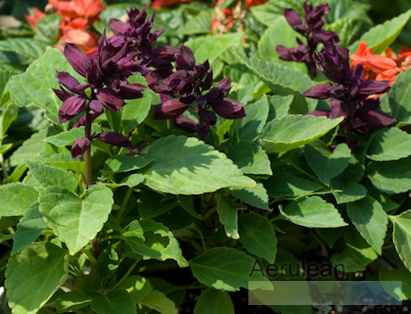 Salvia splendens salsa purple 2