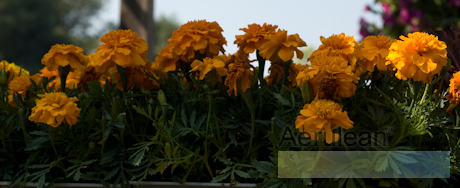 Tagetes marigold antigua orange 2