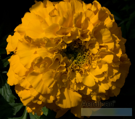 Tagetes marigold antigua orange