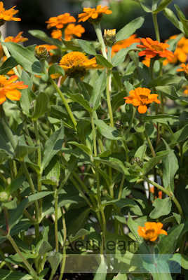 Zinnia x angustifolia profusion orange 4