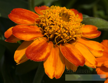 Zinnia x angustifolia profusion orange 6