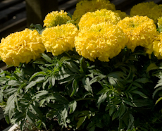 Tagetes marigold antigua yellow 2