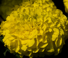 Tagetes marigold antigua yellow
