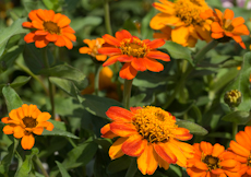 Zinnia x angustifolia profusion orange 5
