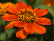 Zinnia x angustifolia profusion orange