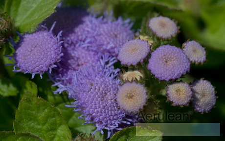 Ageratum houstonianum hawaii blue 3