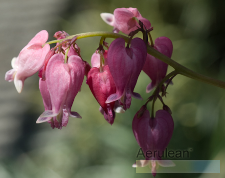 Dicentra 'luxuriant' 3