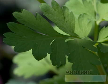 Dicentra 'luxuriant' 8