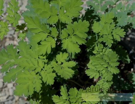 Dicentra 'luxuriant' 9