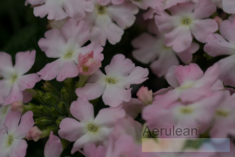 Verbena 'aztec light pink' 2