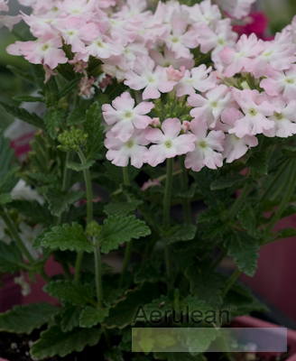 Verbena 'aztec light pink' 4