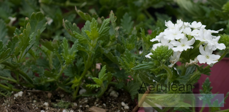 Verbena 'aztec white magic' 2
