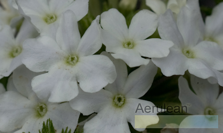 Verbena 'aztec white magic'