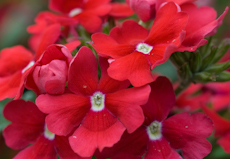 Verbena 'aztec cherry red' 2