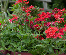 Verbena 'aztec cherry red'