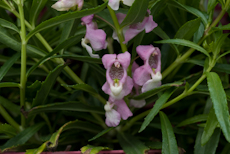 Angelonia angustifolia angel mist pink  2