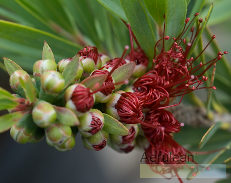 Callistemon citrinus little john 4
