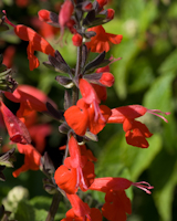 Salvia coccinea lady in red 2 2