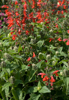 Salvia coccinea lady in red 5