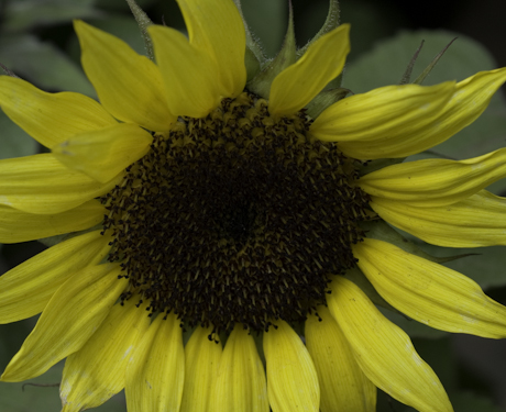 Helianthus annuus junior yellow 3