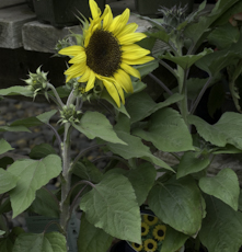 Helianthus annuus junior yellow 6