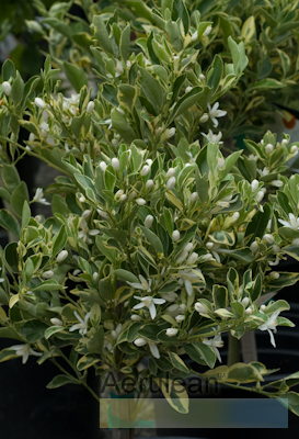 Citrus variegated calamondin 3