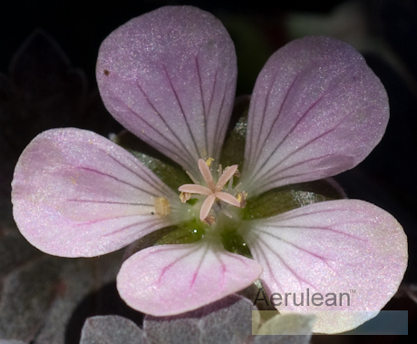 Geranium chocolate candy 3