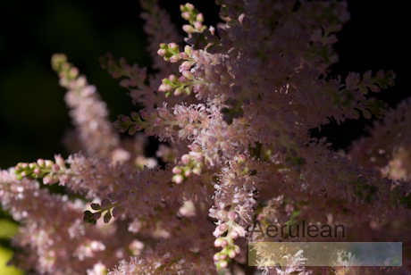 Astilbe x arendsii erica 2