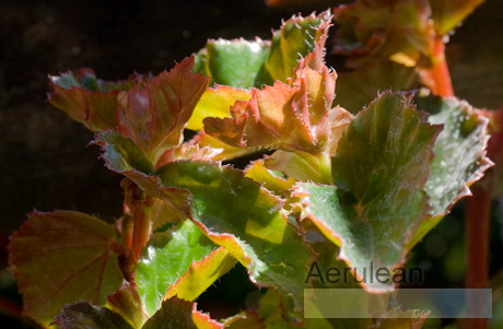 Begonia richmondensis 2 3