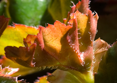 Begonia richmondensis 2 4
