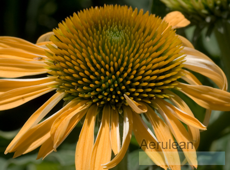 Echinacea big sky harvest moon