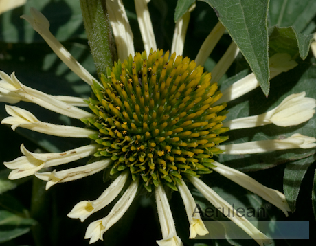 Echinacea big sky yellow 2